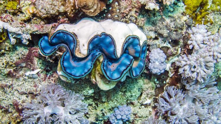 Đây là loài thân mềm khổng lồ này sống bằng cách hút dinh dưỡng được tạo ra bởi hàng tỷ sợi rong biển sống trên cơ thể của mình.
