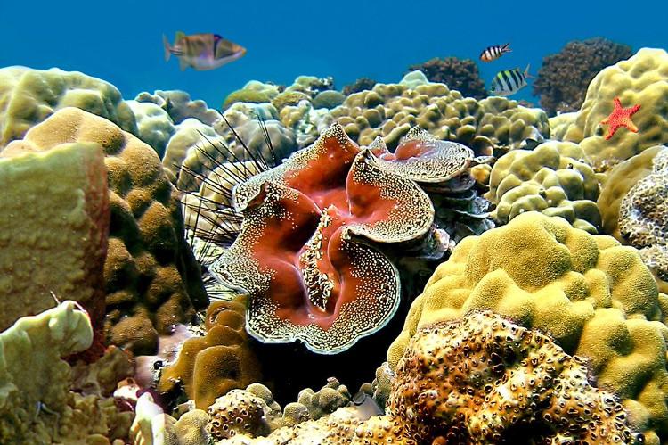 Sò tai tượng có tên khoa học là Tridacna gigas, được phát hiện năm 1521.