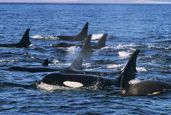 Có giả thuyết cho rằng tiếng động được tạo ra để xua đuổi cá voi.