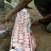 Hàng chục quả trứng xếp kín trong bụng trăn lớn