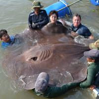Cá đuối to bằng xe ôtô chết hàng loạt trên sông Thái Lan