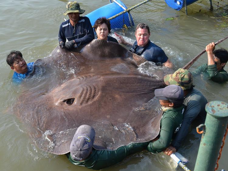 Một con cá đuối nước ngọt khổng lồ được bắt trên sông Mae Klong, Thái Lan.