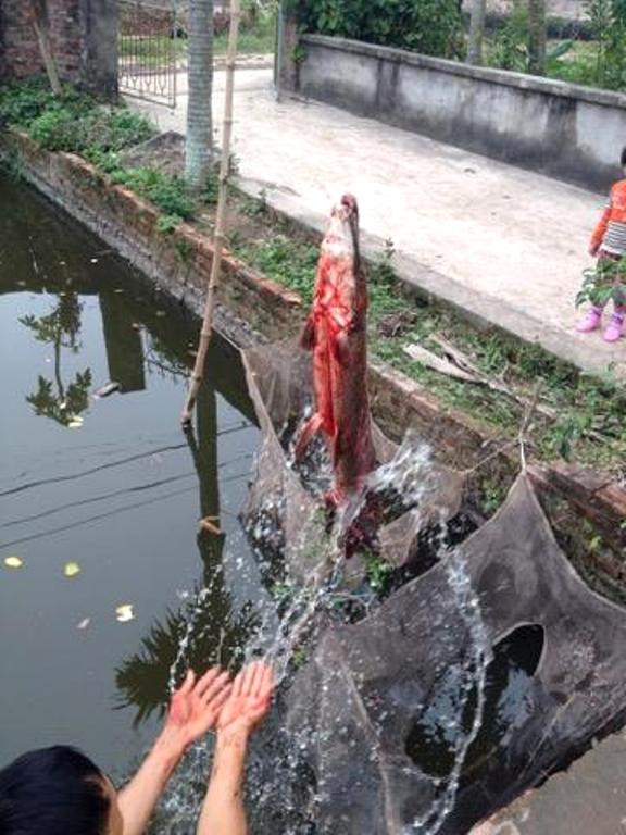 Cá có chiều dài 70cm và nặng gần 8kg.