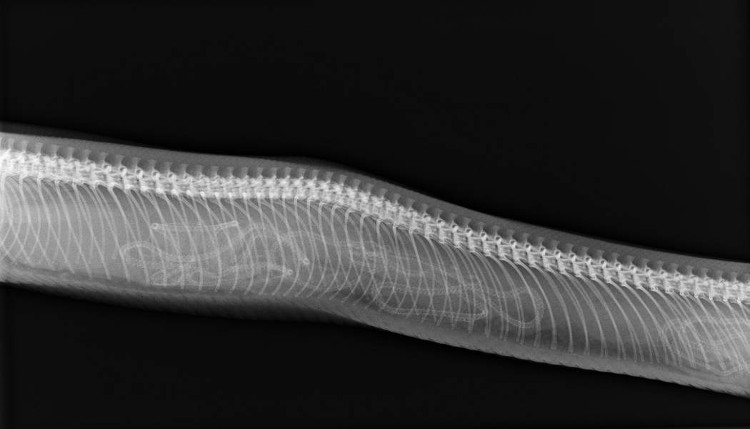 Hình ảnh chụp X-quang của rắn mẹ.