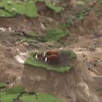 New Zealand cứu đàn bò kẹt trên gò nhỏ sau động đất