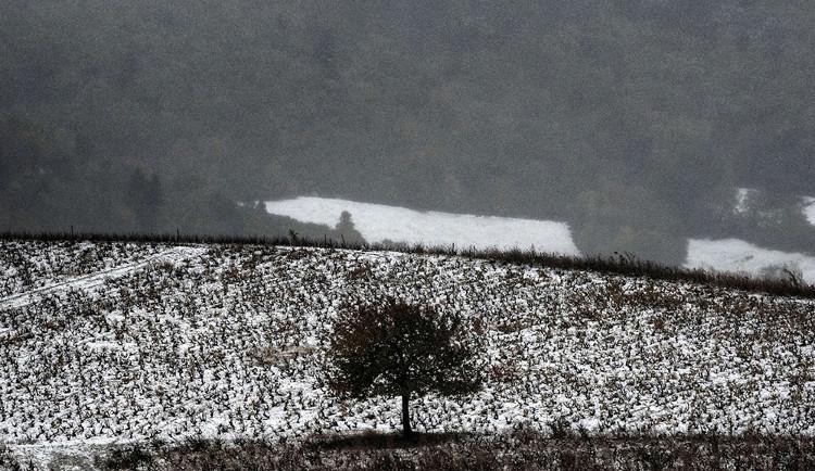 Khung cảnh vườn nho ở phía bắc Lyon, Pháp, khi bị tuyết bao phủ.