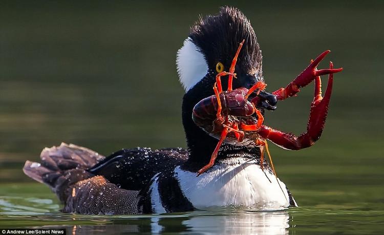 Con tôm đỏ đố gắng cong mình và dùng càng để tấn công vịt hoang nhằm thoát khỏi kẻ săn mồi, nhưng vô ích.