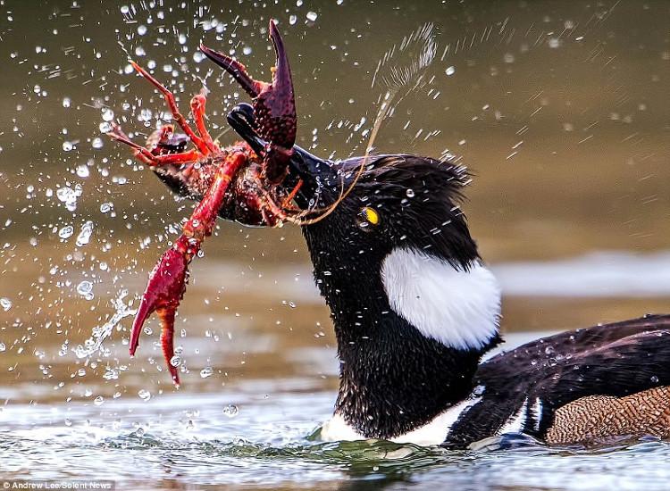 Sau khi bẻ gẫy một càng của tôm đỏ, vịt hoang tiếp tục kẹp chặt chiếc càng còn lại của con mồi.