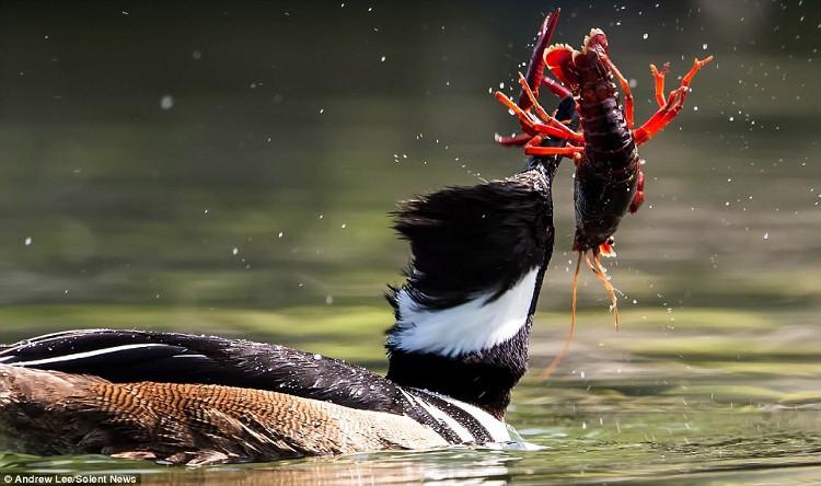 Vịt hoang tìm cách xoay tôm đỏ để có thể nuốt chửng con mồi từ phần đuôi.