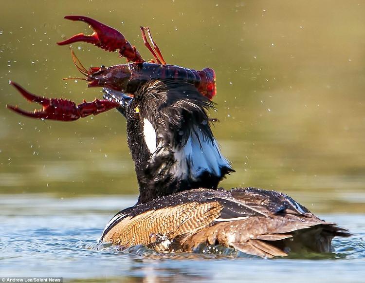 Mỏ của con vịt hoang dường như bị kẹp chặt giữa càng của con tôm đỏ khổng lồ