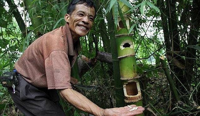 Sâu tre là một loại côn trùng sống sâu trong những đốt tre.