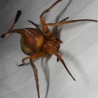 Loài nhện có khả năng biến thành lá cây hoàn hảo đến không ngờ