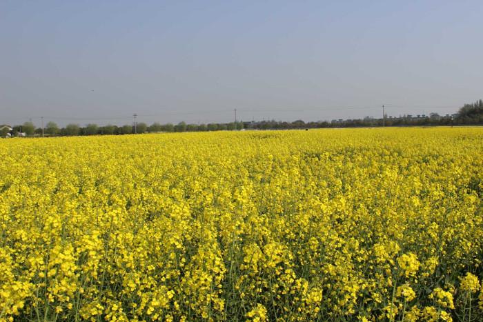Ở phía tây Canada, khoảng 80% cây cải dầu là cây trồng biến đổi gene.