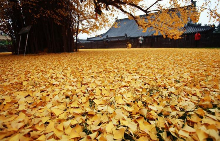 Đến mùa thu, lá cây chuyển thành màu vàng rực rỡ và bắt đầu rụng từ giữa tháng 11