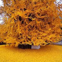 Cổ thụ 1.400 năm tuổi phủ vàng sân chùa Trung Quốc