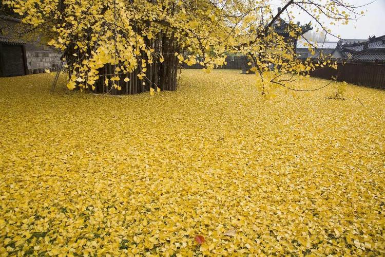 Cây dẻ quạt, hay còn gọi là bạch quả, thuộc họ cây thân gỗ lớn, tán rộng và cành dài, cao ít nhất 20 - 35m.