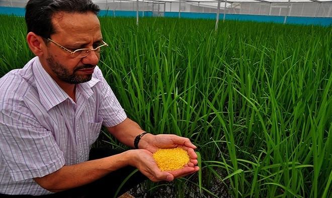 Lúa là cây lương thực chính cho hơn một nửa dân số thế giới.