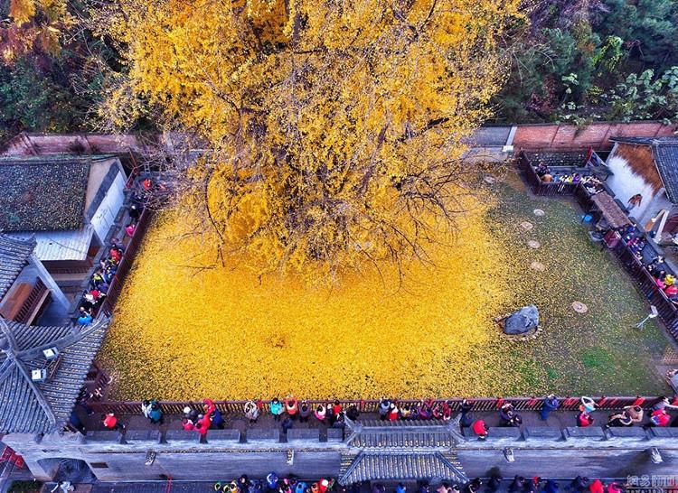 Màu vàng nổi bật của lá cây khiến nhiều du khách thích thú.