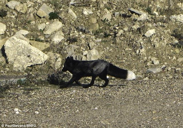 Con cáo đen có màu lông khác thường do đột biến gene.