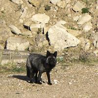 Phát hiện loài cáo đen cực hiếm ở Anh