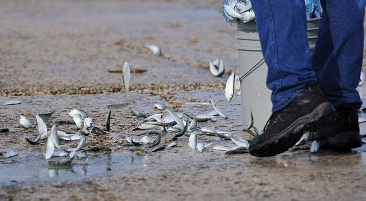 Ngày 6/8/2000, một trận mưa cá kỳ lạ xảy ra ở thành phố Great Yarmouth, Norfolk, Anh.