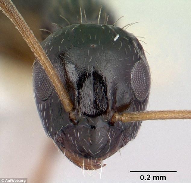 Loài kiến này có tiềm năng rất lớn để trở thành một giống loài xâm lược mang quy mô toàn cầu.