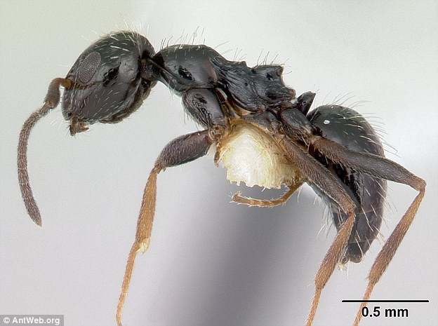 Loài kiến Lepisiota canescen.
