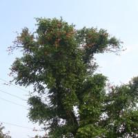 Khám phá bất ngờ về cây tầm gửi