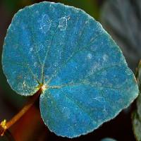 Vì sao một số loài cây có lá màu xanh lam?
