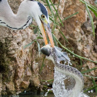Chim diệc đói mồi cướp cá của rắn