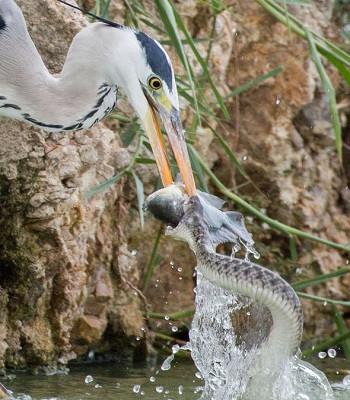 Chim diệc và rắn cùng lúc ngoạm chặt đầu cá.