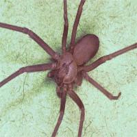 Bị nhện nâu cắn, bé gái 8 tuổi phải ghép da gấp để cứu kịp