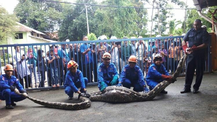 Con trăn dài 6m, nặng 100kg bị bắt sau khi nuốt chửng một con dê tại Baling, Malaysia.