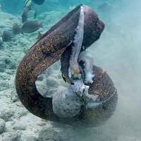 Sổng bạch tuộc, lươn biển quay sang tấn công thợ lặn