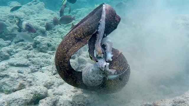 Lươn biển cuộn chặt quanh mình bạch tuộc.