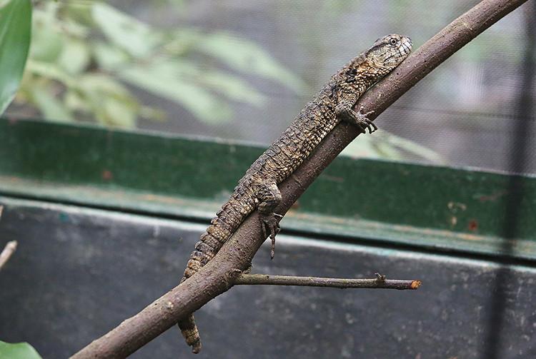 Trước đây thằn lằn cá sấu chỉ ghi nhận ở nam Trung Quốc và gần đây mới tìm thấy ở vùng đông bắc Việt Nam.