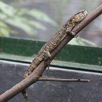 Loài thằn lằn quý hiếm mang hình thù cá sấu