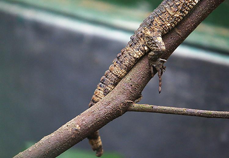 Thằn lằn cá sấu có khả năng leo trèo giỏi nhưng lại thích sống dưới nước.