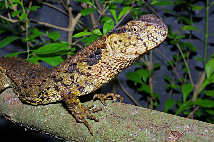 Nhằm bảo tồn loài động vật đặc biệt trên, Trạm đa dạng sinh học Mê Linh, thuộc Viện Sinh thái và Tài nguyên sinh vật đang nhân nuôi sinh sản.