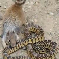 Video: Sóc điên đói quá hóa cuồng đòi ăn rắn độc
