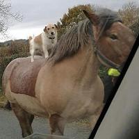 Chó cưỡi ngựa khiến người qua đường sửng sốt
