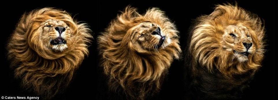 Khoảnh khắc sư tử lắc bờm rất ấn tượng.