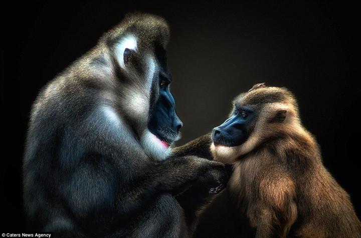 Khỉ đầu chó chạm tay vào cằm một đồng loại để thể hiện tình cảm thân thiết.