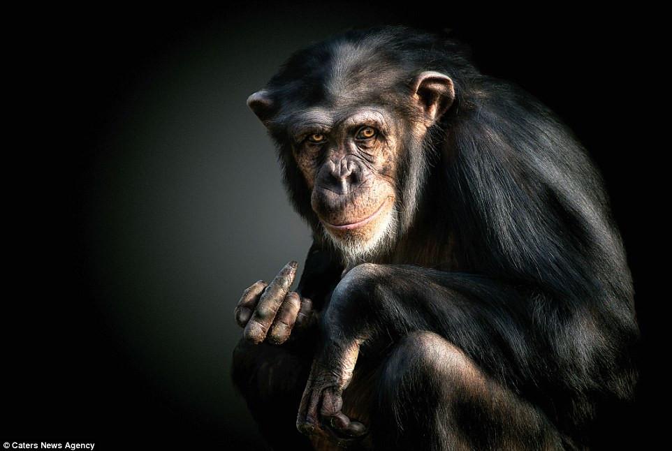 Con tinh tinh này dường như giơ ngón tay thối khi bị chụp ảnh.