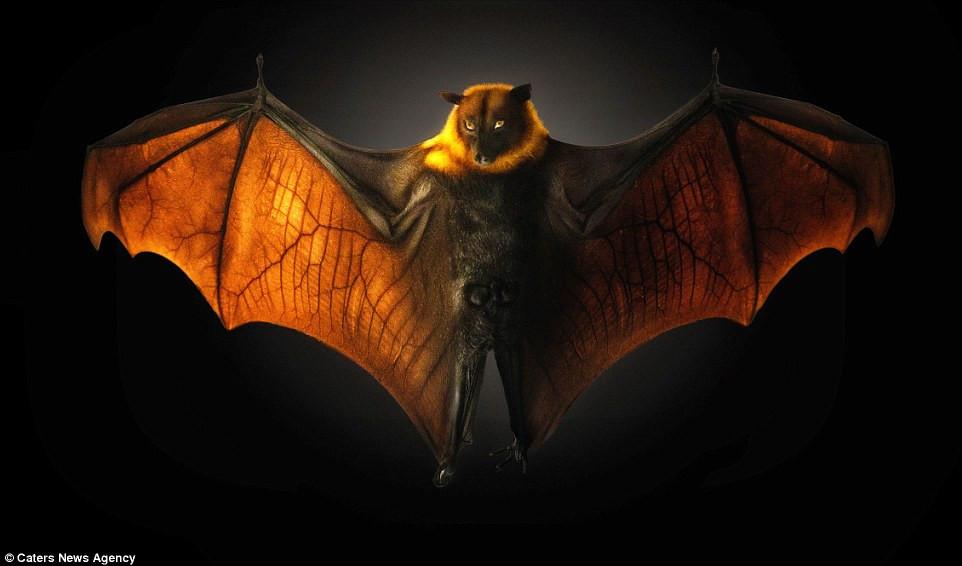 Dơi quỷ giang rộng đôi cánh trông như quái vật trong phim kinh dị.