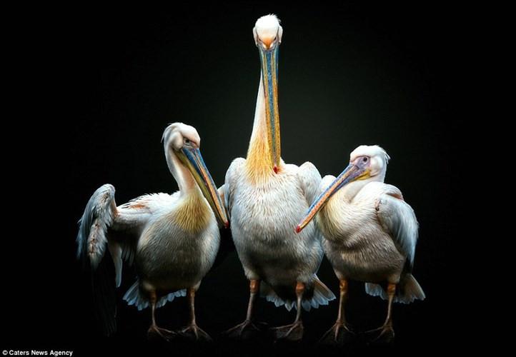 Chim bồ nông dùng đôi cánh rộng để bảo vệ hai con của nó.