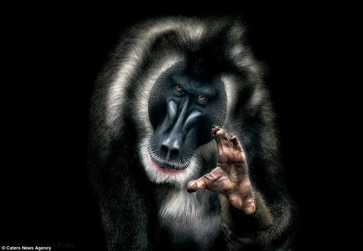 Khỉ đầu chó đưa tay ra như muốn tóm gọn chiếc máy ảnh chụp hình nó.
