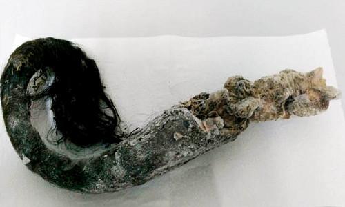 Mẩu đuôi bò rừng thảo nguyên được bảo quản dưới lớp đất đóng băng vĩnh cửu
