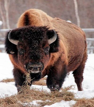 Bò rừng thảo nguyên tuyệt chủng vào đầu thế Toàn Tân