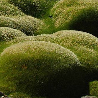 Loài cây chinh phục giá lạnh khắc nghiệt trên đỉnh Himalaya